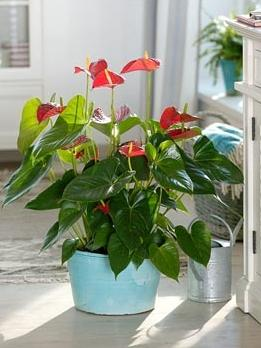 how to care for anthurium flowers